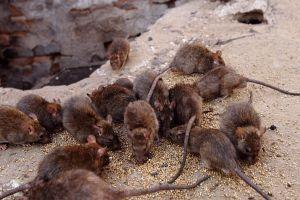 zwalczanie szczurów