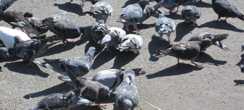 Zwalczanie gołębi