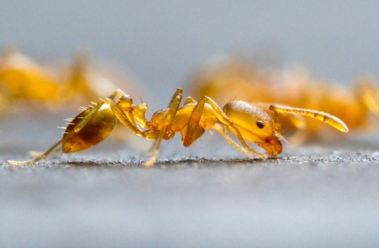 Mrówka faraona zwalczanie