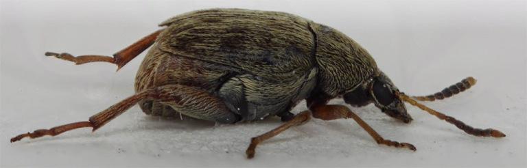 mały chrząszcz