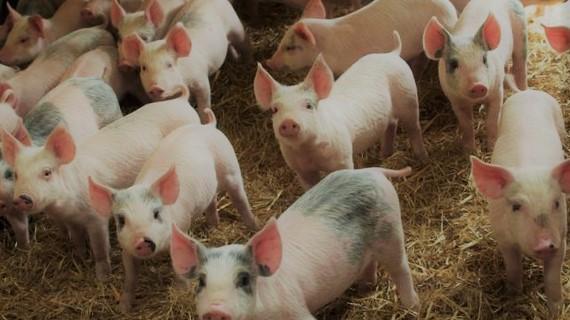 świnie gospodarstwo hodowlane