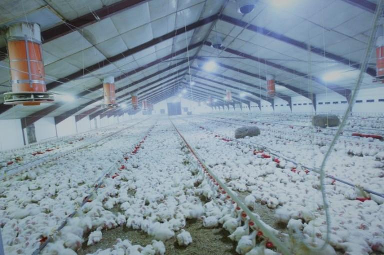 fermy drobiu bioasekuracja