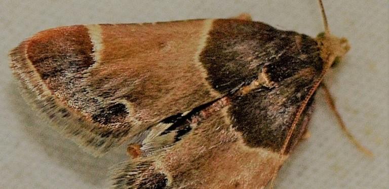 Zadarlica spiżarnianka – czym jest, jak się rozwija i jak wygląda. (Pyralisfarinalis)